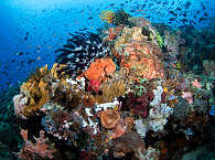 bunte Korallengärten vor Alor und Pantar