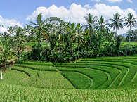 Reisfelder auf Bali