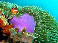 Nemo in einer Anemone – Luzon und Mindoro, Philippinen
