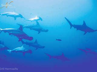 Hammerhaie vor Socorro