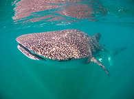 Tauchen mit Walhaien Mexiko