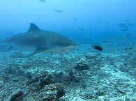 Begegnung mit Tigerhaien vor Tahitis Küste, Franz. Polynesien