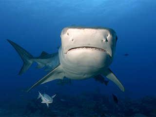 Tauchen mit Tigerhaien – Französisch-Polynesien