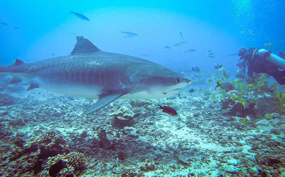 Tigerhai-Tauchen vor Tahiti / Französisch-Polynesien