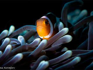 Clownfisch in Sulwesi, Indonesien