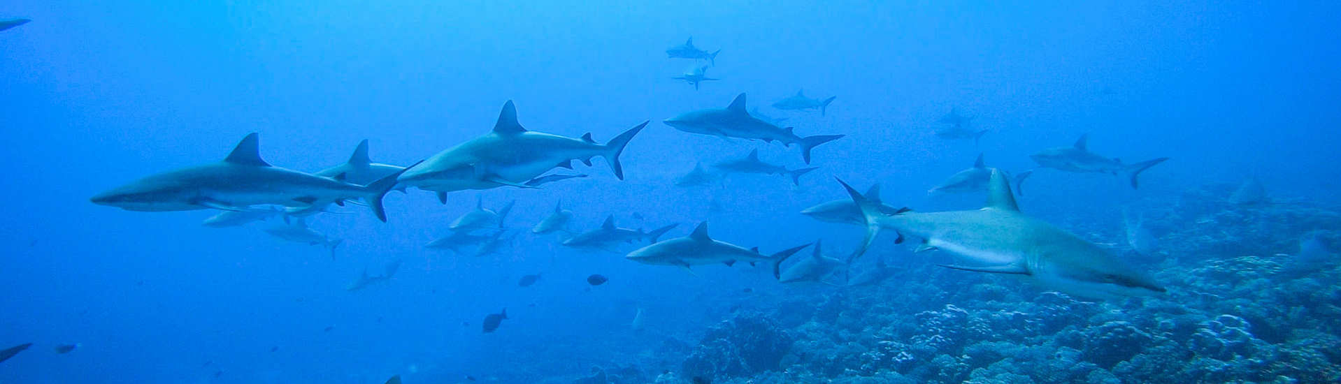 """Wall of Sharks"" am Süd Pass Fakarava, Tetamanu, Tuamotu Archipel"