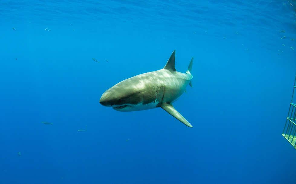 Tauchen mit Weißhaien – Tauchsafaris Guadalope Mexiko