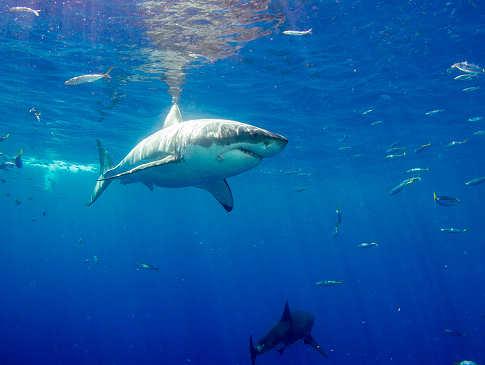 Tauchen mit dem Weißen Hai – Carcharodon Carcharias