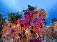 Korallen in Raja Ampat – Tauchen Indonesien