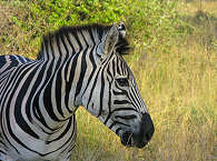 Zebra im Kruger Nationalpark – Südafrika