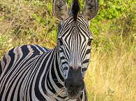 Zebra – Kruger Park – Südafrika